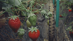 Strawberry farm (Kohji Iida) Tags: camera look wheel japan canon vintage photography strawberry farm washed kohji ibaraki iida s5is