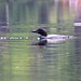 Big Clemons Pond Loon 3 - S Durst