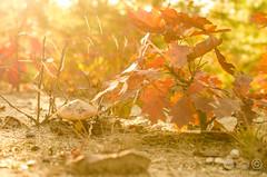 Autumn (Pette-P) Tags: wood autumn forest licht warm sonnenuntergang bokeh herbst sonne wald bltter bume sonnenaufgang baum bunt stimmung abendlicht sonnenlicht