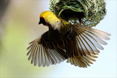 Swartkeelgeelvink,Southern Masked Weaver 2