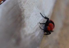 texas cow ant (tyedyechic76) Tags: red black bug ant cowant