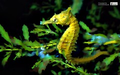 Sea Horse Wallpaper (Infoway LLC - Website Development Company) Tags: wallpaper beautiful wonderful nice jellyfish seahorse superb awesome images exotic hd illustrator incredible breathtaking bluefish classy greenleaf weedyseadragon redfox mindblowing squirrelnest malelion prettyfish butterflywallpaper seaoctopus yellowclownfish blackseasunset eaglewallpaper beewallpaper responsivewebsitedesign seahorsewallpaper aquaticmarinedragon colorfulfishunderthesea responsivewebdesigncompany amazingdeepbluesea fightingfrog marinelifehdwallpaper leafyseadragonwallpaper