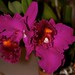 Blc. Magic of Mishima 'Volcano Queen' – James Mickelson