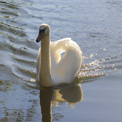 312/365 - Swan at The Vyne