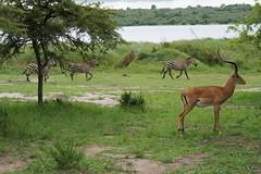 Zebras & Gazela