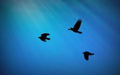 Blackbird Fantasy (imageClear) Tags: blue black bird nature beauty wisconsin nikon flickr artistic wildlife birdsinflight crow crows sheboygan blackbird avian photostream bif lightrays naturephotography 18200mm wildlifephotography d7000 imageclear blackbirdfantasy