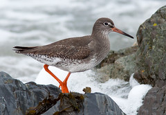 Redshank - Derbyhaven, IOM (wazeemo) Tags: bird nature wildlife 300mm isleofman tringatotanus redshank wader 50d derbyhaven