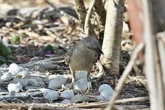 Great Bowerbird ~ Chlamydera nuchalis ~ Mount Molloy School (Rowettia) Tags: birds australia queensland chlamyderanuchalis greatbowerbird mountmolloy