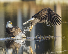 _R4C7415 (Mellis Photography, Printing and Framing) Tags: americanbaldeagle