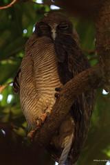 Rufous Owl,  Cairns,, AU IMG_2289 (Hart Walter) Tags: australian masked flyingfox bushstonecurlew lapwingpied cairnswildlife australianurbanwiuldlife pelicanhelmete friarbirdmangrove heronmasked lapwingbreeding imperialpigeonbatsspectacled