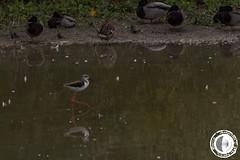 Cavaliere d'Italia (marco.angelini83) Tags: nature birds animals italia natura uccelli palude animali cavaliere cavaliereditalia bentivoglio larizza