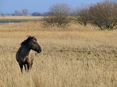 Feral Horse (BlueRidgeKitties) Tags: horse germany deutschland pony pferd schleswigholstein feral norddeutschland dithmarschen konik northerngermany speicherkoog canonpowershotsx40hs