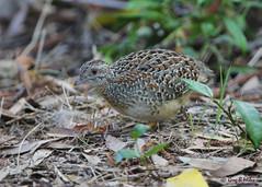 Painted Button-quail (Greg Miles) Tags: australia nsw newsouthwales calga paintedbuttonquail turnixvarius