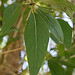 Lance-leaf Cottonwood tree