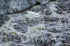 _MG_4286a (markbyzewski) Tags: alaska kids ugly mountaingoats glacierbaynationalpark