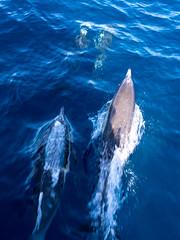 Chasing Dorphin (maida0922) Tags: ocean california sea water animals swimming jump pacific sandiego dolphin motionblur splash common mammals em5 mzuiko1240mmf28pro