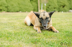 hungry (Pette-P) Tags: dog eat hund hunger bone hungry