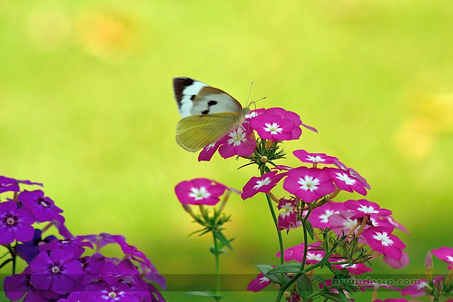 flowers butterfly spring nikon phlox colorsofspring 2014... (Photo: ArvinderSP on Flickr)