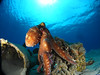 Diving with us in Nama Bay (Camel Dive Club) Tags: octopus naamabay