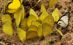 Flash mob!! (zimbart) Tags: africa butterflies insects lepidoptera zimbabwe hesperiidae pieridae eurema euremabrigitta leucochitonealevubu leucochitonea chesaforest