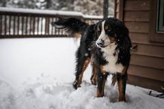 trees winter dog mountain snow nose lola deck breckenridge bernese breck brandonprice