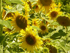 sunflowers:Sustainability Institute