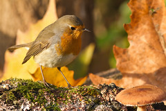 roodborst / robin (nature photography by 3620ronny.be) Tags: nature robin birds canon belgium belgie natuur vogel limburg naturephotography roodborst natuurfotografie ef300mmf4lisusm canon7d 3620ronny
