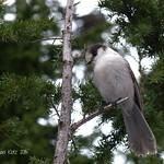 Gray Jay - Seymour Mountain, BC thumbnail