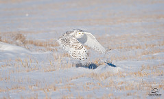 Snowy Owl on the Wing (Glatz Nature Photography) Tags: canada eyecontact wildlife raptor alberta owl wildanimal snowyowl birdinflight wildbird onthewing buboscandiacus