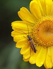 Oedemera femorata (5) (saracenovero) Tags: beetles 2014 coleoptera oedemeridae oedemerafemorata beetlesoflithuania
