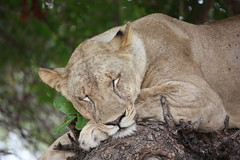 Lioness in a Tree, Sleeping