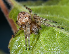 Larinioides cornutus. (Tony Brierton) Tags: macro spider larinioidescornutus ecnr 28614spider