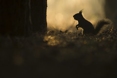 Red Squirrel (Daniel Trim) Tags: red england cute nature mammal squirrel wildlife mammals eurasian vulgaris formby sciurus
