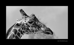 SERIE BW ZOOPARC DE BEAUVAL (thierrymuller) Tags: france nature animal animals zoo nikon tamron girafe nikonpassion thierrymuller elpadrepicture