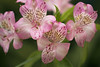 (Julia C. F) Tags: pink flowers green spring colorful soft blossom naturallight peruvianlily astromelia