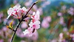 SPRING (Ted Tsang) Tags: plants flower bokeh taiwan olympus bee  sakura cherryblossoms macroshot lugu  em1 nantou   beyondbokeh  1240mmf28