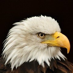 Bald Eagle (Mark Tooke) Tags: bird zoo eagle norfolk baldeagle feather birdofprey banhamzoo banham southnorfolk