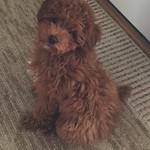 Pippa's Past f1b toy puppies !