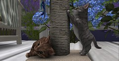 So Cute (Enya T) Tags: playing home post secondlife kitties roomies enya scratchingpost