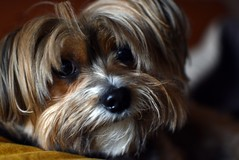 happy (Artista_7591) Tags: portrait dog 35mm stars happy nikon tenderness d5500