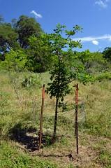 Bur oak_4836 (San Marcos Greenbelt Alliance) Tags: trailheads flowercloseups sanmarcosgreenbeltalliance smgaphotobylancejones