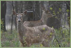 <<< Spring Woods Whitetails >>> (Wolverine09J ~ 1 Million + Views) Tags: whitetaildeer youngbucks forestwildlife arealgem naturescreations sjohnsonsfauna 1goldwildlife springaprilbrook springfauna