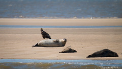 Seeadler meets Robbe (florianpluecker) Tags: white bird eagle seal prey tailed sandbank vogel wattenmeer seehund seeadler