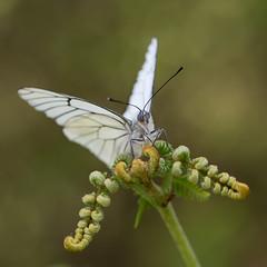Ayyy seor seor, que cruz (too15) Tags: macro nikon bokeh butterflies blanca galicia tamron mariposas ourense aporia valdeorras