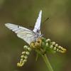 Ayyy señor señor, que cruz (toño15) Tags: macro nikon bokeh butterflies blanca galicia tamron mariposas ourense aporia valdeorras