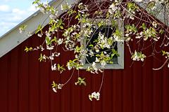 Blooming spring (Ib Aarmo) Tags: house window red flowers fruit tree blooming spring outdoor