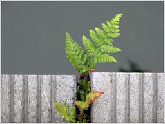 iGrow (ESOX LUCIUS) Tags: fern harbor wildplant stellendam goereeoverflakkee