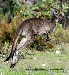 Grey Kangaroo (andrew52010) Tags: nationalpark kangaroo bushwalking marsupial southaustralia barossa barossavalley greykangaroo nuriootpa kaiserstuhlconservationpark mountloftyranges barossaranges trailssa dewnr