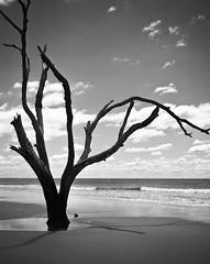 Boneyard Beach (LieToMe74) Tags: ocean tree mamiya film beach landscape sand driftwood ilford fp4 bullisland rz67 ilfordfp4plus blackandwhitefilm 110mm mamiyarz67 boneyardbeach