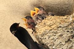 1stDay-20160531_IMG_6269 (NAMARA EXPRESS) Tags: baby bird yellow japan canon mouth eos child nest zoom sp 7d osaka swallow 70300mm tamron nib toyonaka 2015 f456 namaraexp